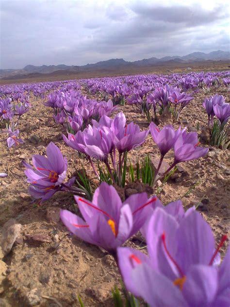 fiore dello zafferano fiore dello zafferano fotografia stock immagine 52176464