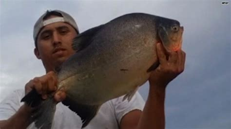 does this fish look like a piranha to you hlntv