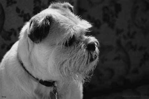 border terrier pug pug border terrier mix centcompstoradyn48 blogcu