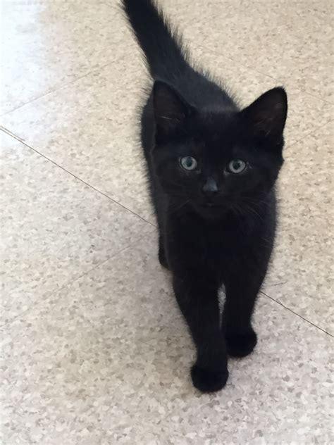 cute black kittens nottingham nottinghamshire petshomes