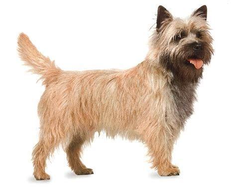 brindle cairn haircut cute puppies and dogs pictures cairn terrier dog reviews