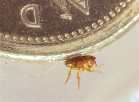 do bed bugs die in water fleas extermination pest control of bed bugs fleas and