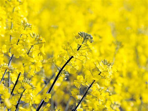 olio di colza alimentare olio di colza uso alimentare benessere e antiossidanti