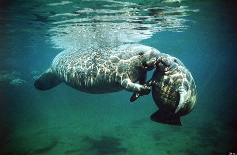 20 photos of manatees doing manatee things and being very