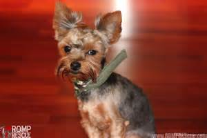 Yorkie Rescue Chicago Terrier Adoption Romp Italian