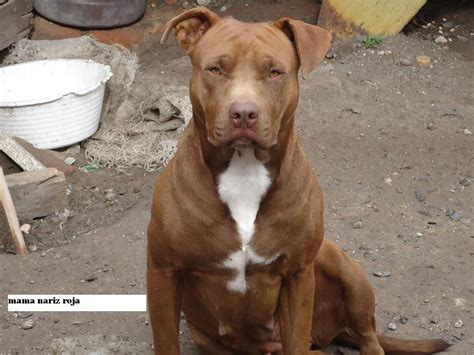 fotos de pitbull red nose red nose pitbull google search pitbulls pinterest