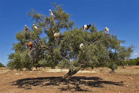 A Tree - tree climbing goats spit out and disperse valuable argan