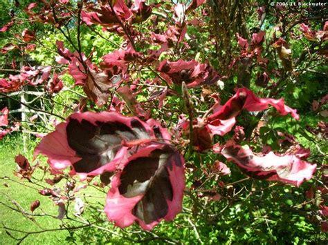 tri color beech tree problems pin by billie sue elkins cavins on landscape