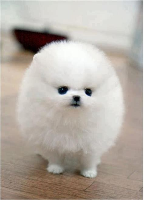 puffball puppy an adorable puff looks like a q tip with legs dogs and cats
