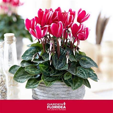 ciclamini in vaso come curare i ciclamini in vaso interesting with come