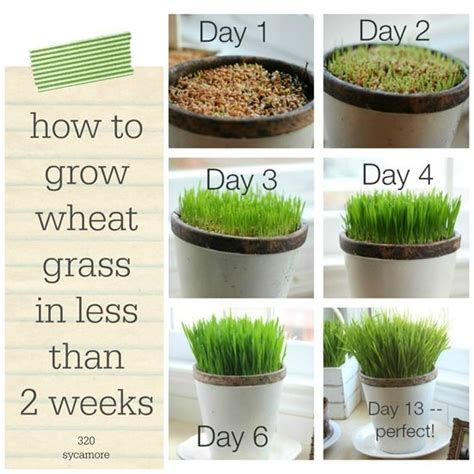 grow your own hrt sprout hormone rich greens in only two minutes a day books best 25 cat grass ideas on cat garden cat