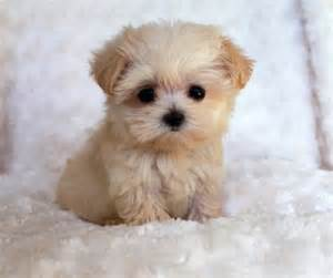 best 25 teacup maltipoo ideas on pinterest maltipoo cute small dogs and cavapoo puppies
