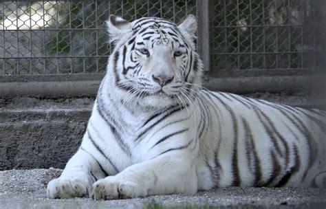 imagenes de tigres de bengala tigre de bengala blanco www pixshark com images
