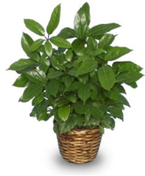 Bald Knob Flower Shop green schefflera plant brassia actinophylla in bald knob
