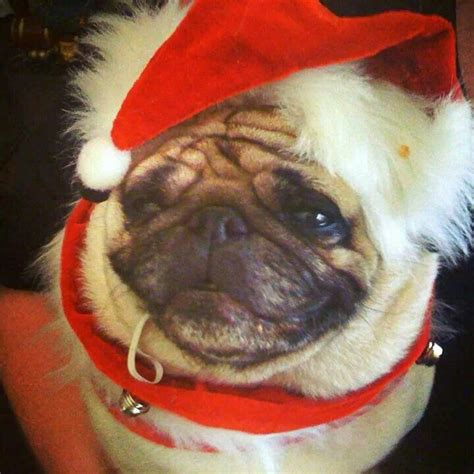santa pug 17 best images about pugs on pugs a present and pug