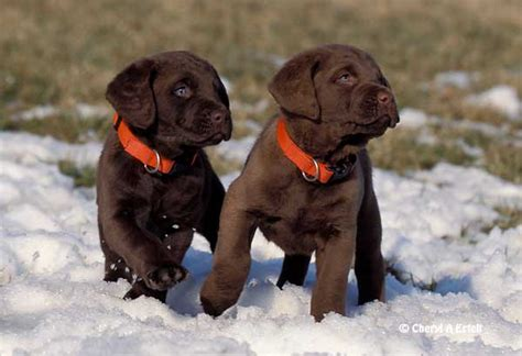 chesapeake bay puppies chesapeake bay retrievers on labrador retriever dogs and