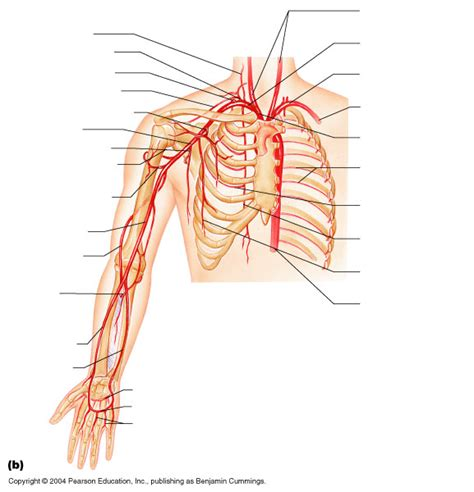 arteries diagram new page 1 www highlands edu