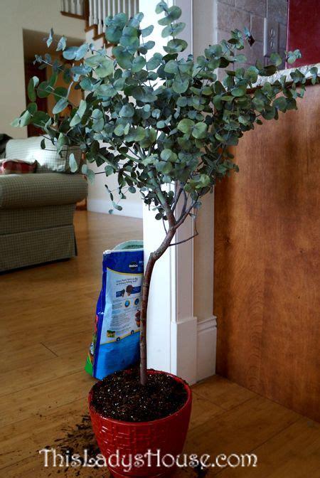 eucalyptus tree eucalyptus plant indoor eucalyptus tree