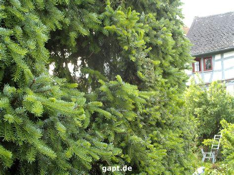 bis wann kann bã ume pflanzen fichtenhecke pflanzen und schneiden