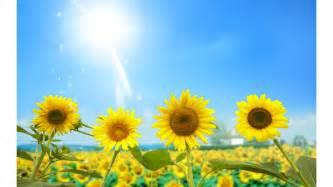 sunny days 2016 sunflower 4k wallpapers free 4k wallpaper