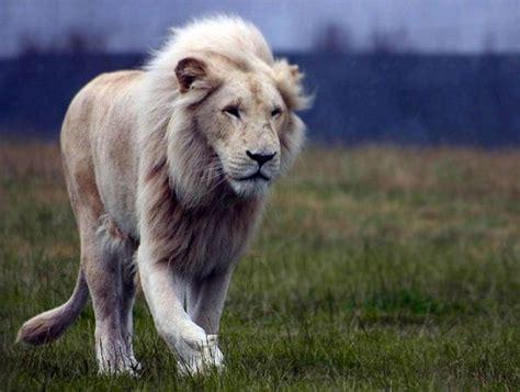 imagenes de leones raros conhe 231 a o rar 237 ssimo le 227 o branco ambientalistas em rede