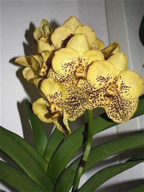 quanto bagnare le orchidee mobili lavelli annaffiare le orchidee
