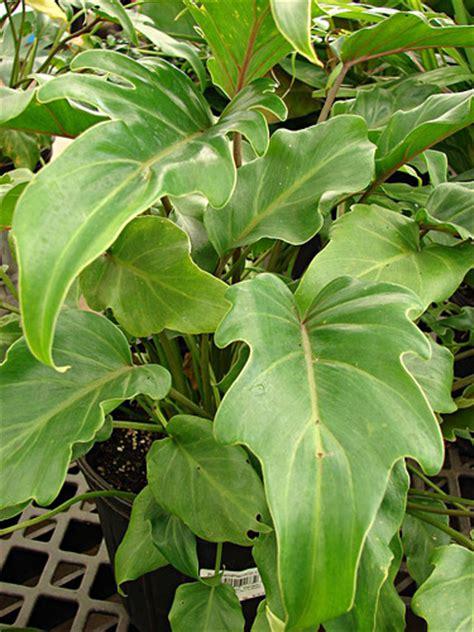 cut foliage plants philodendron fresh cut foliage catalog flora export s