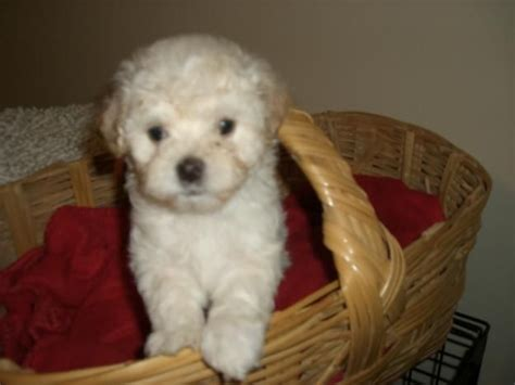 maltipoo puppies for adoption maltipoo puppies for sale adoption from san diego