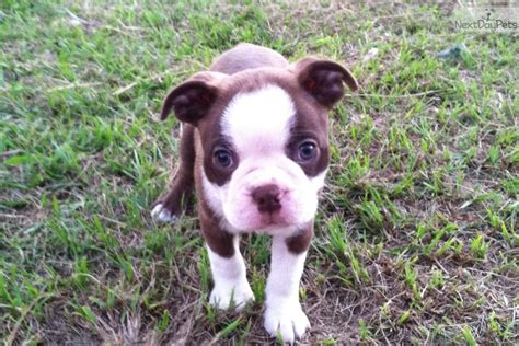 brown boston terrier puppies meet rex a boston terrier puppy for sale for 600 brown boston terriers