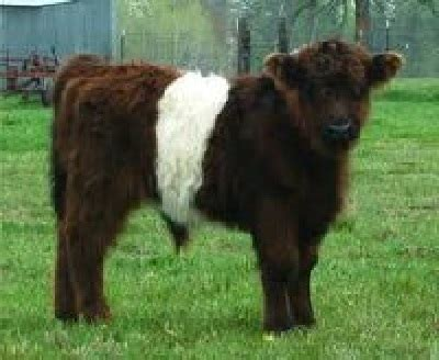 miniature in guide to miniature cattle breeds for your small modern