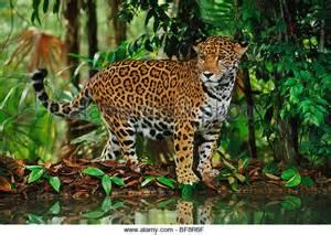 Jaguars In Belize Jaguar Stock Photos Jaguar Stock Images Alamy