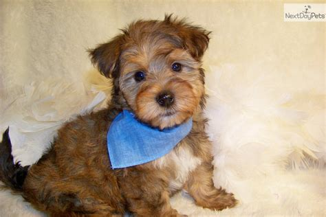 yorkie poo sale yorkiepoo yorkie poo puppy for sale near st louis missouri pets world