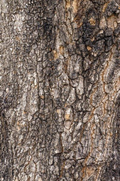 the agent if a tree seeping pecan trees pecan tree has sap dripping from it