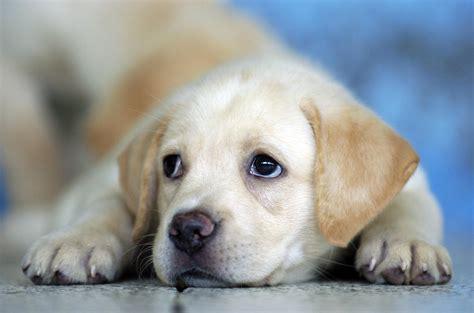 cool puppies labrador puppies wallpaper hd 9 cool hd wallpaper hivewallpaper