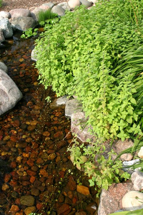 plants  ponds  water gardens hgtv