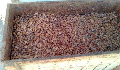 Teh Kotak Per Biji pengolahan pasca panen kakao detiktani