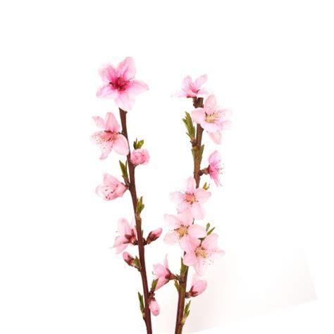 fiore di pesco significato bar dei fiori flority fair