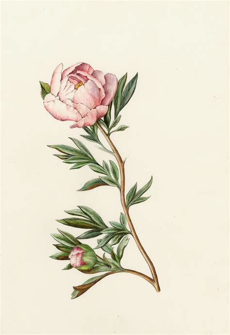 peony rose tattoo peony from the collection of botanical illustrations of