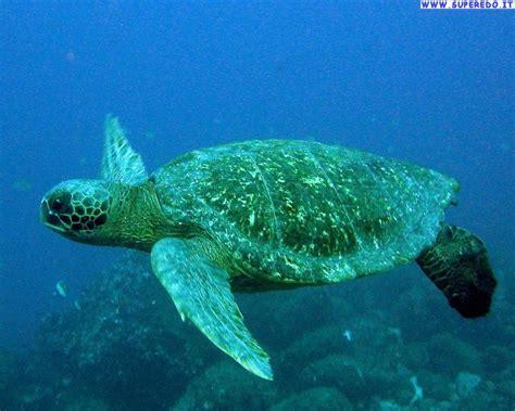 di mare sfondi tartarughe di mare sfondi in alta definizione hd
