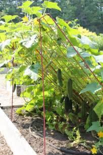 cucumber plant trellis cucumber trellis large powder coated steel gardener