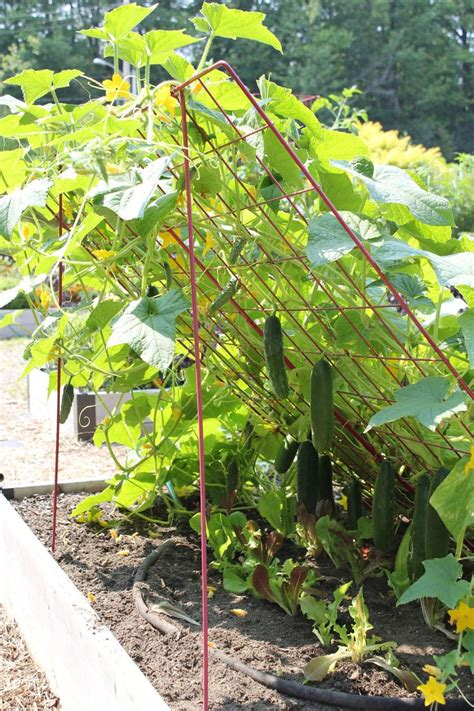 grow cucumbers on trellis cucumber trellis large powder coated steel gardener