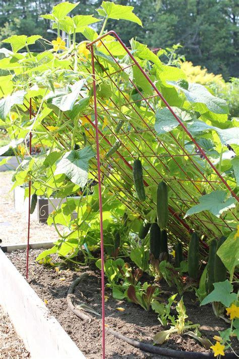 Cucumbers On A Trellis cucumber trellis large powder coated steel gardener s supply edible gardening