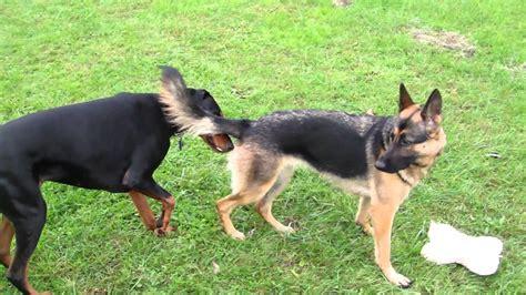 rottweiler vs doberman vs german shepherd german shepherd vs doberman fight breeds picture