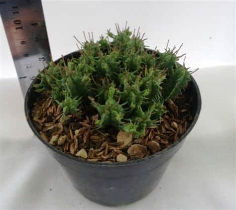 Bibit Kaktus Dan Sukulen jual bibit unggul tanaman sukulen 9 bibit