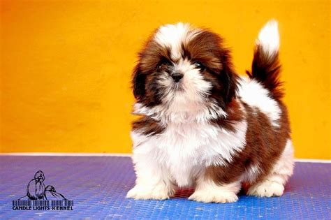 shih tzu puppies for free quality shih tzu puppies for sale in chennai