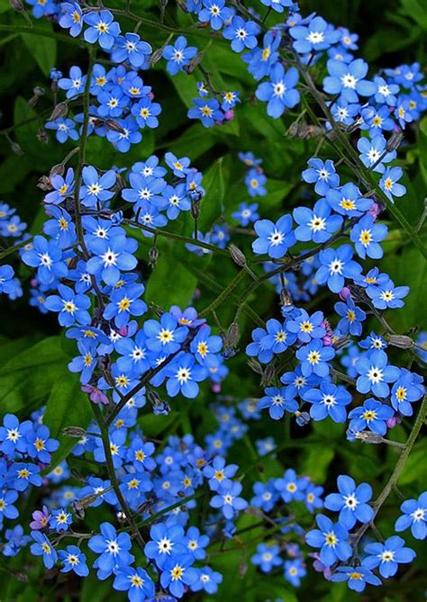 blue flowers picture tiny flowers in bloom light colored blue flowering plants www pixshark images