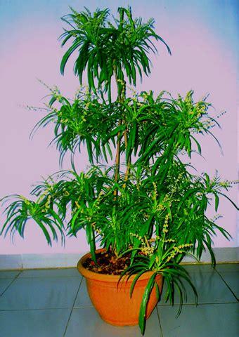 Tanaman Zodia Pengusir Nyamuktanaman Pengusir Nyamuk gambar tanaman bunga tanamanbunga