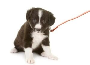 how to your puppy to walk on a leash how to get a puppy used to walking on a leash the how to