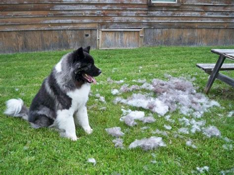 Why Dogs Shed Hair by Do All Haired Dogs Shed 28 Images Why Do Dogs Shed