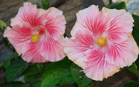 imagenes de rosas exoticas fotos flores exoticas cuidar de tus plantas es